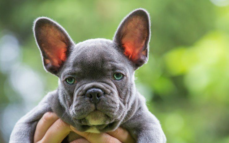 Blue Frenchies All About Blue French Bulldogs French Bulldog