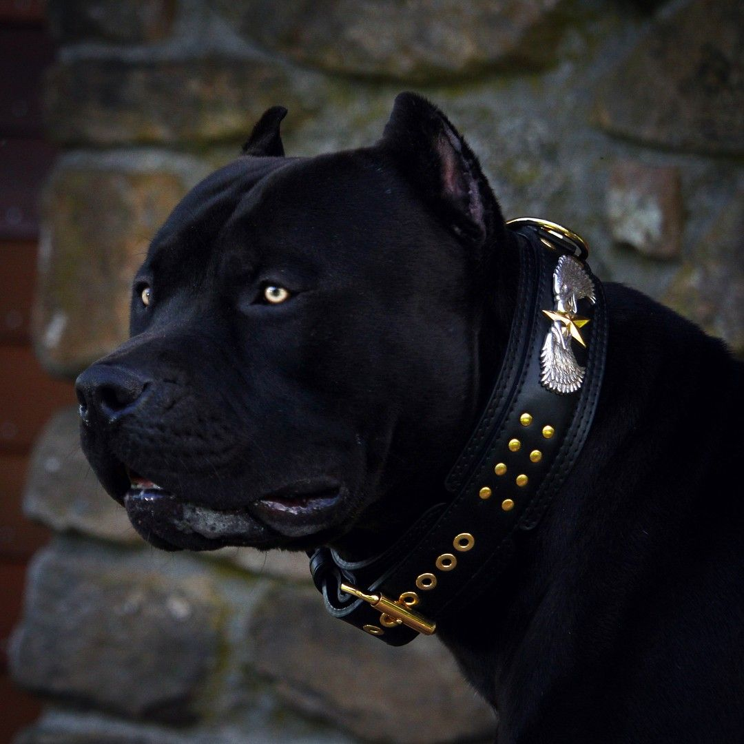 Prague American Bully Americanbully From Usa Http Www Xxldesignerpitbulls Com Scary Dogs Pitbulls Black Pitbull
