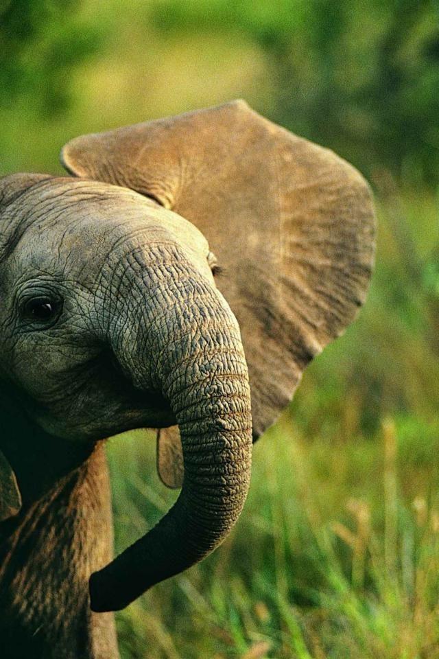 Baby Elephant Background : elephant, background, Iphone, Elephant, Background, Elephant,