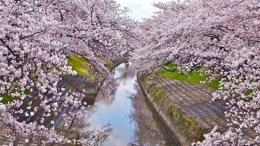 The Most Beautiful Cherry Blossoms Around The World Japanese Cherry Tree Cherry Blossom Japan Cherry Blossom