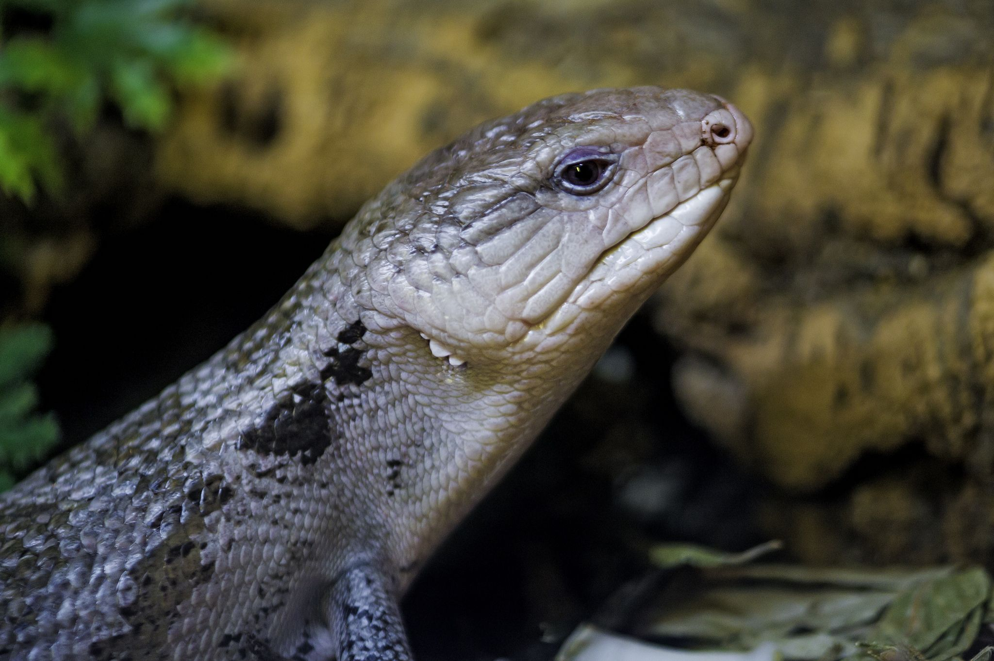 https://flic.kr/p/EBBbQt | Almost blue lizard | Portrait of one of the reptiles of the zoo. Its name is the Eastern blue-tongued lizard.