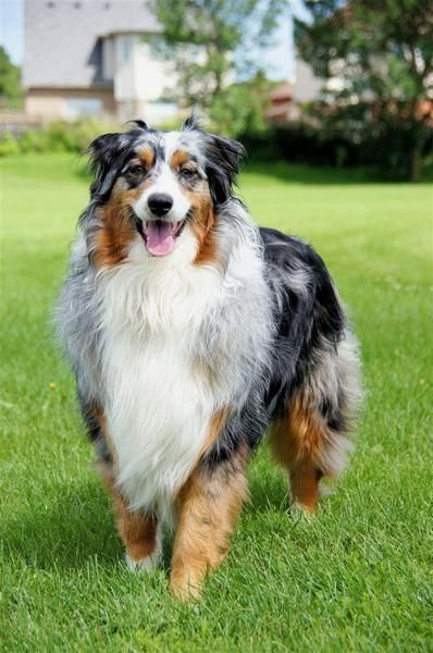 Next Time You Notice A Bur Put Gloves On To Protect Yourself And Work The Crisco Around Until You Can Dog Training Obedience Australian Shepherd Dog Obedience