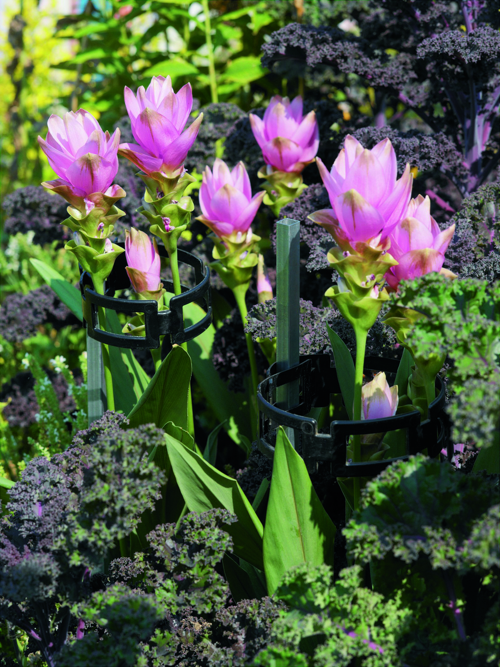La pianta della curcuma con il suo inconfondibile fiore rosa