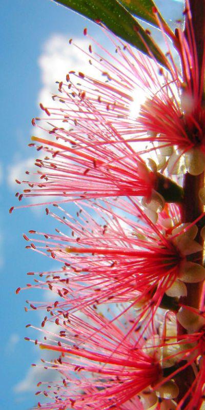 Australian Bottlebrush  joli,,,,,,**+