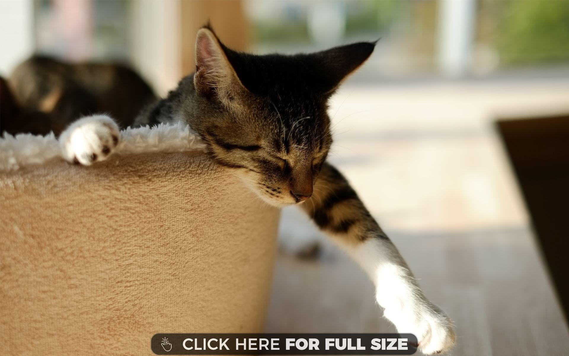 Cute Lazy Cat wallpaper Cat sleeping, Cat wallpaper, Cats
