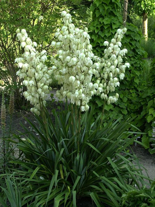 Yucca filamentosa palmlilie bl ten pflanzen und garten for Garten yucca ableger