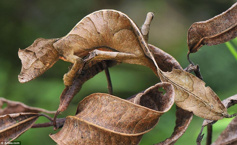 Faux-semblant - leaf-tailed gecko (Uroplatus phantasticus) camouflaged in a national park in Madagascar
