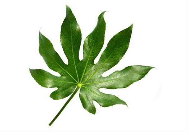 aralia leaves - Google Search