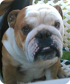 Rex Is An Adorable Adoptable Bully Male At 6 Years Old Bulldog