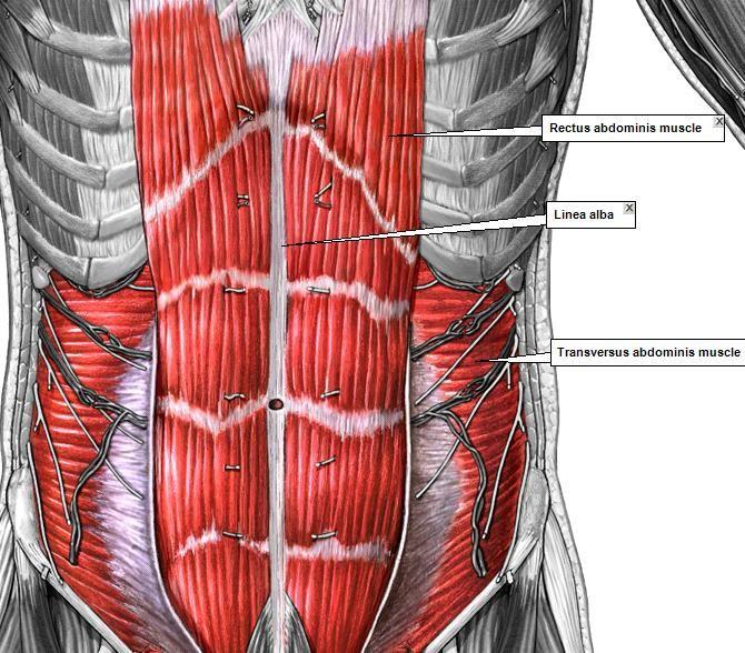 Мышца живота картинки
