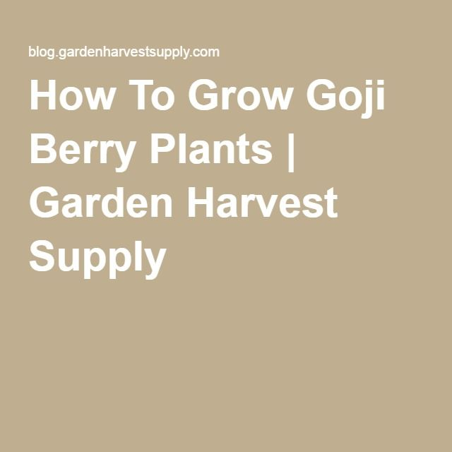 how to grow goji berry plants garden harvest supply garden pinterest berry plants and gardens - Garden Harvest Supply
