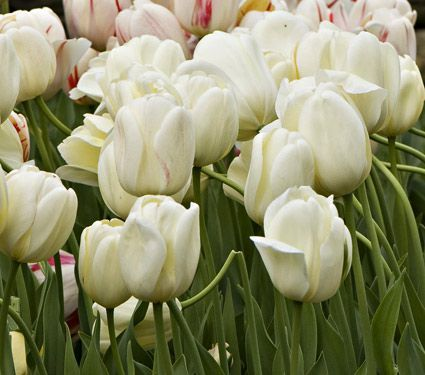 Ivory perennial tulip white flower farm perennials and flower farm mightylinksfo