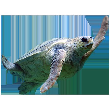 A Cutout Photo Of A Majestic Sea Turtle Swimming Overhead Turtle Sea Turtle Animals Images