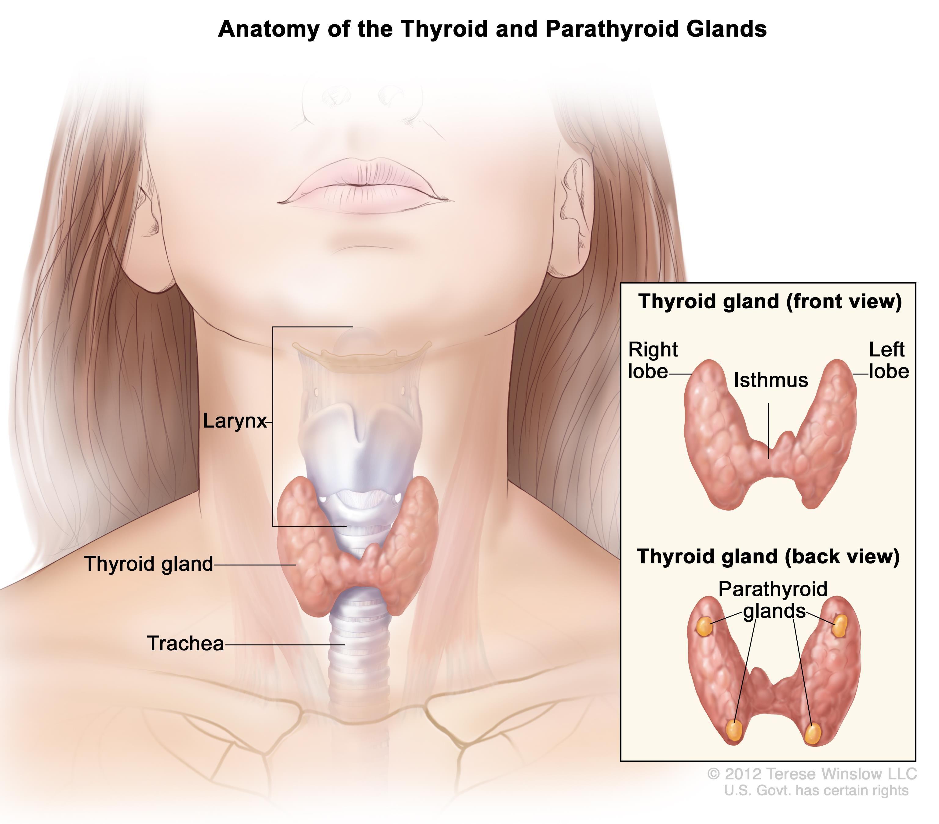 Anatomy Of Thyroid Gland And Parathyroid Glands Endocrine System