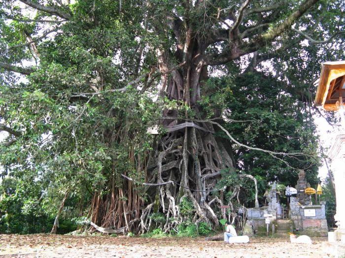 Pohon Banyan Raksasa Tempat Wisata Di Bali Yang Jarang