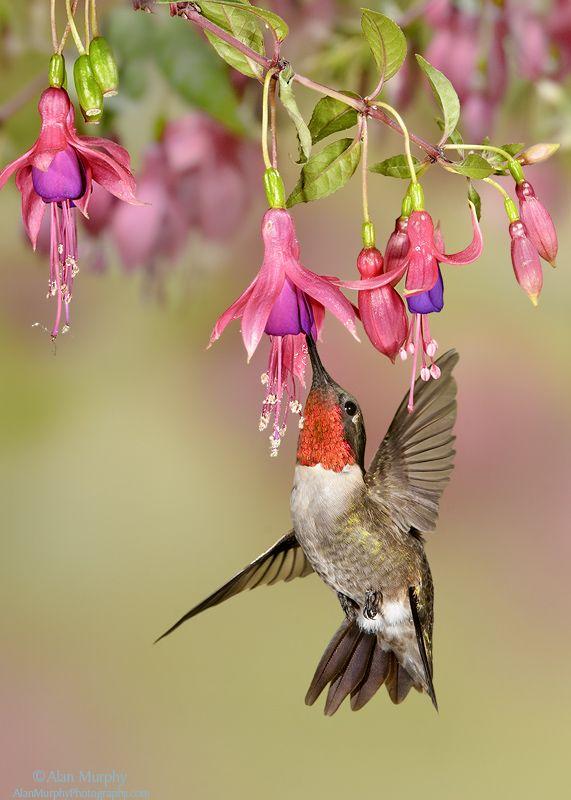 BEAUTIFUL Humming Birds Alanmurphyphotography Tax