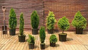 Dwarf Conifers Jpg 300 169 Pixels Dwarf Trees For Landscaping Dwarf Conifers Front Yard Landscaping