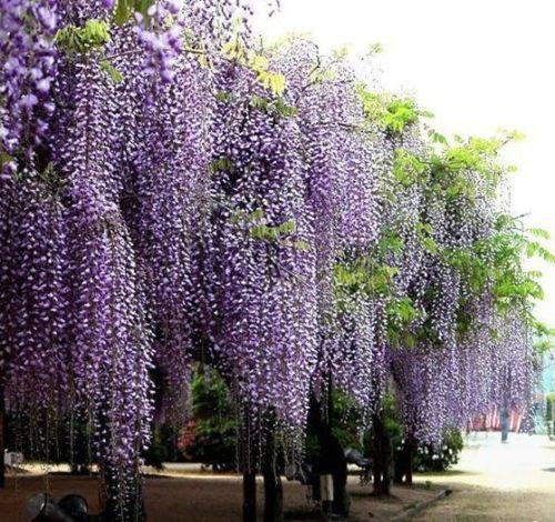 5 Purple Wisteria Seeds Uk Stock Rare Quick Dispatch Best On Ebay Purple Wisteria Chinese Wisteria Wisteria Tree