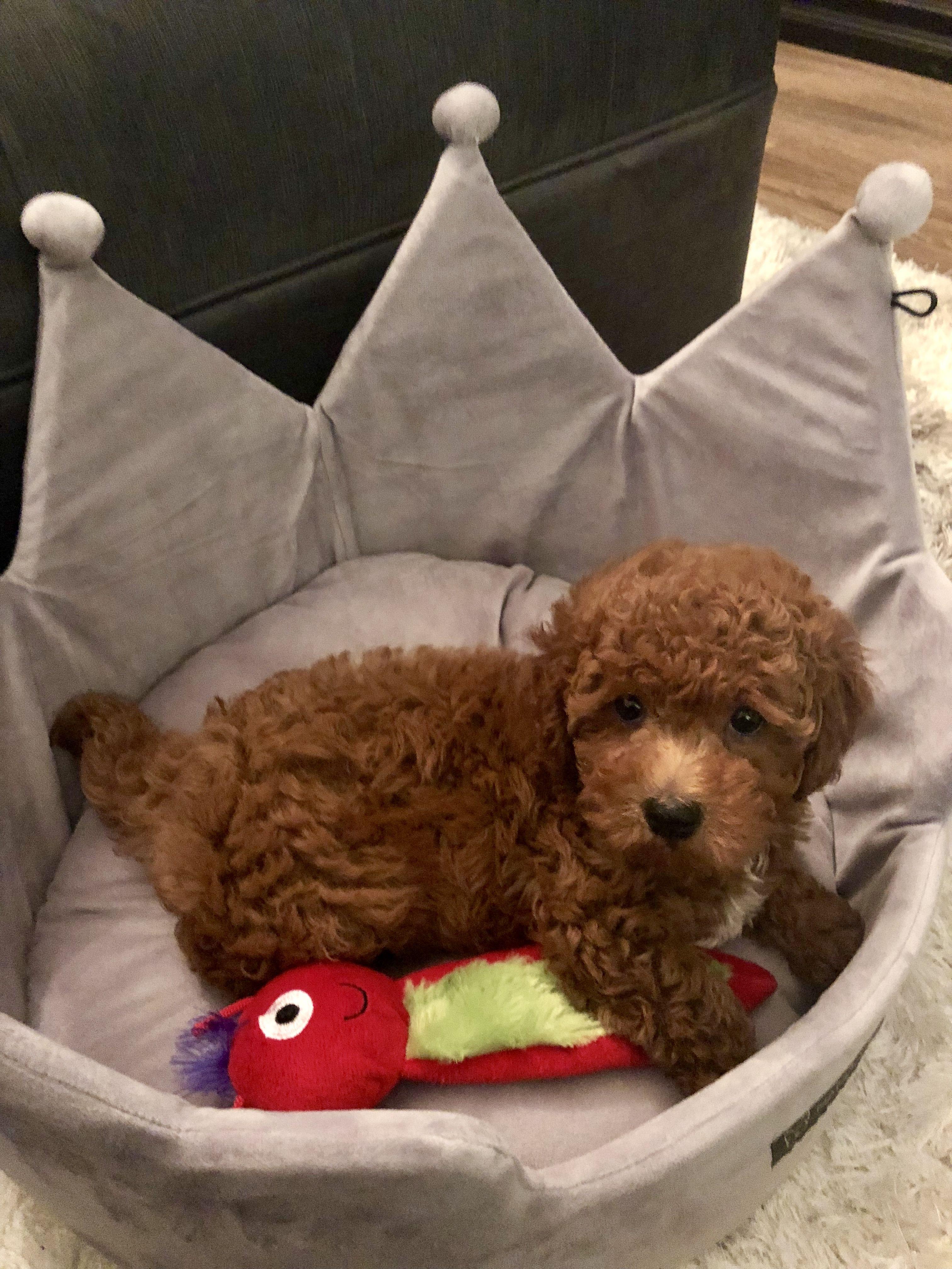 Cavapoo F1B 8 week old puppy red poodle cavalier