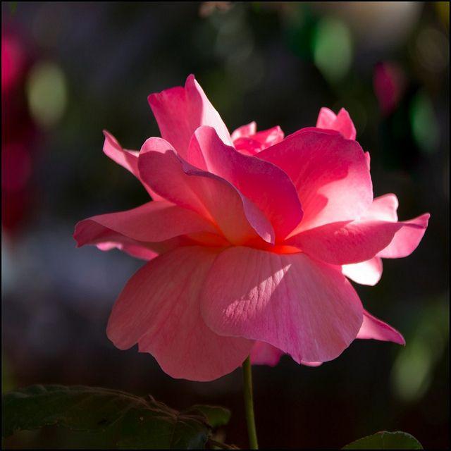 Rosa rosada - Pink rose by Pilar Azaña, via Flickr
