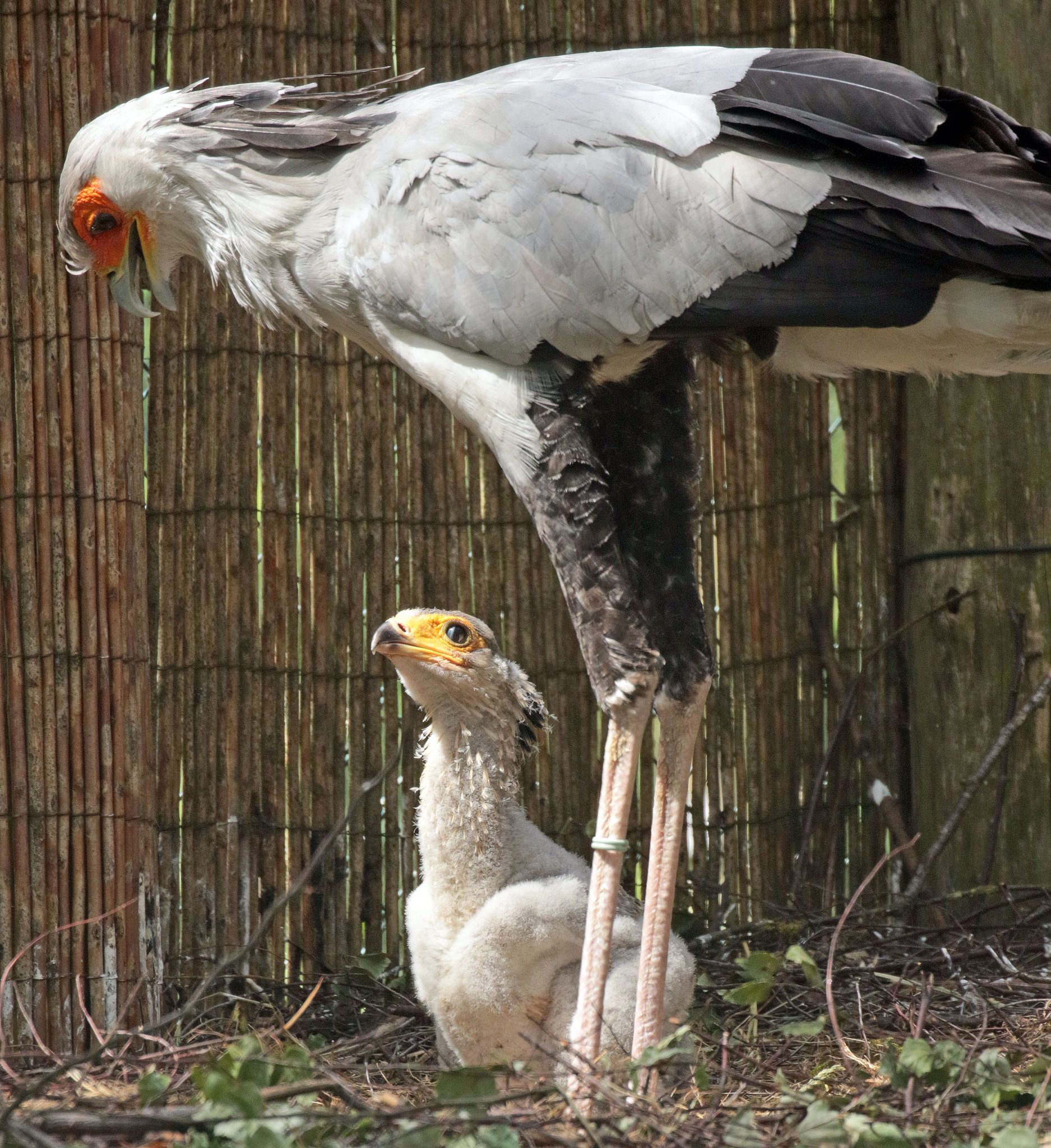 Secretary bird (Sagittarius serpentarius) & chick