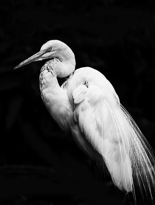 Black and white egret - photo#42
