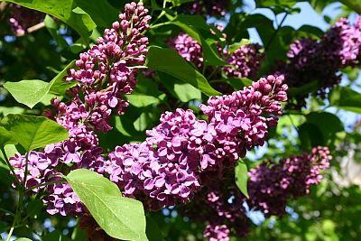Zum Mai gehört der Flieder  Apropos: Was im Mai im Garten zu tun ist: http://www.gartenmonat.de/html/gartenmonat_mai.htm