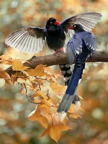 # 485 藍鵲獻媚 | Flickr - Photo Sharing! Taiwan Blue Magpie, taken at Yangmingshan, Taipei