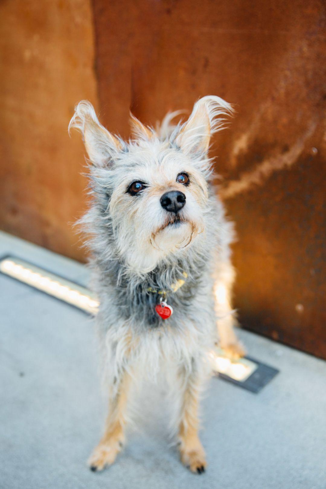 Adopt Chuckles On Terrier Mix Dandie Dinmont Terrier Terrier