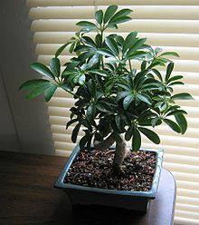 schefflera ( octopus plant, umbrella plant ) one of the most