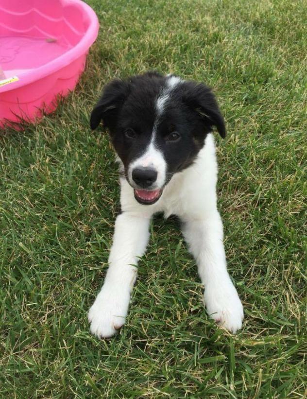 Adopt Jax on Petfinder Shepherd mix dog, Australian