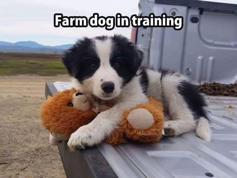 Farm Dog In Training Bordercollie Puppy Farmdog Farm Dogs