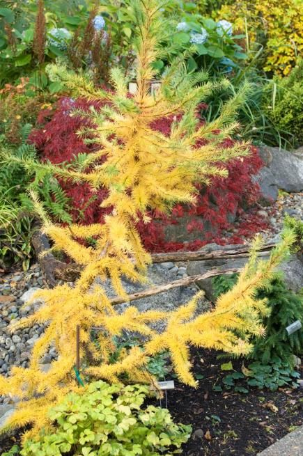 Yellow Orange Red And Purple Get Gorgeous Autumn Foliage Instantly With These Color Drenched Shrubs Perennials Hand Picked For Midwest Landscapes