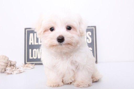 Maltese Puppy For Sale In Naples Fl Adn 26582 On Puppyfinder Com