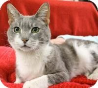 Blackwood, NJ - Domestic Shorthair. Meet Celia, a cat for adoption. http://www.adoptapet.com/pet/10770794-blackwood-new-jersey-cat