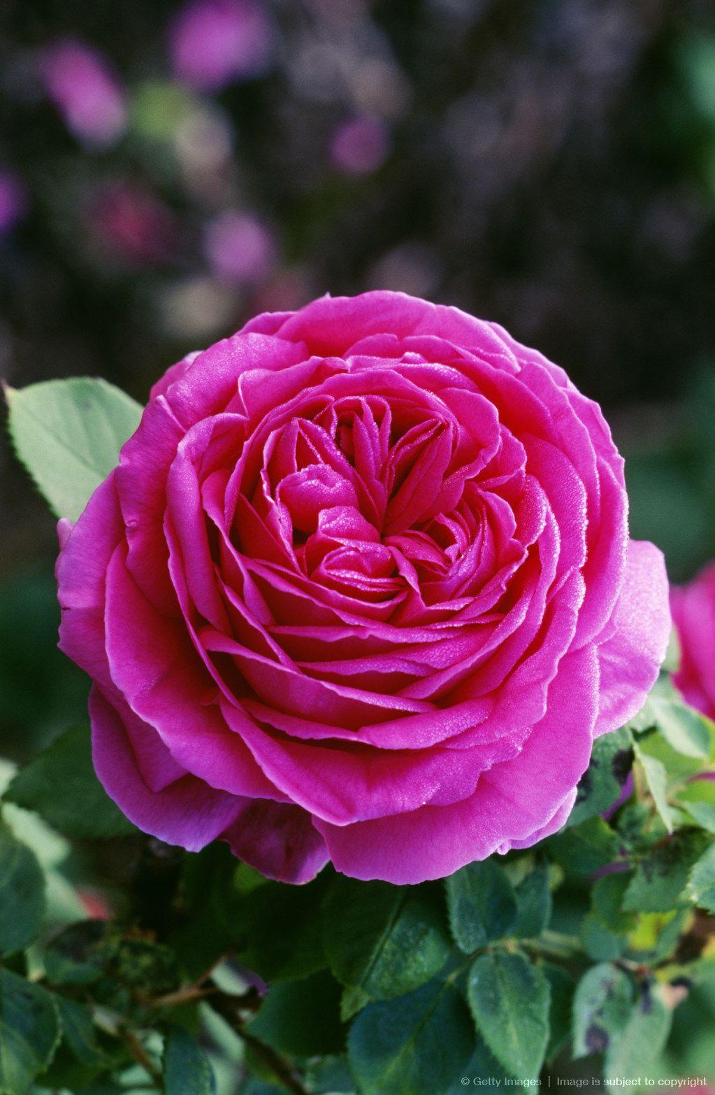 rose othello  English shrub rose breed by David Austin