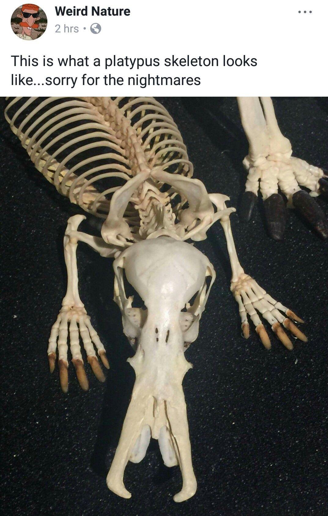 Platypus skeleton | Skulls & Skeletons | Pinterest