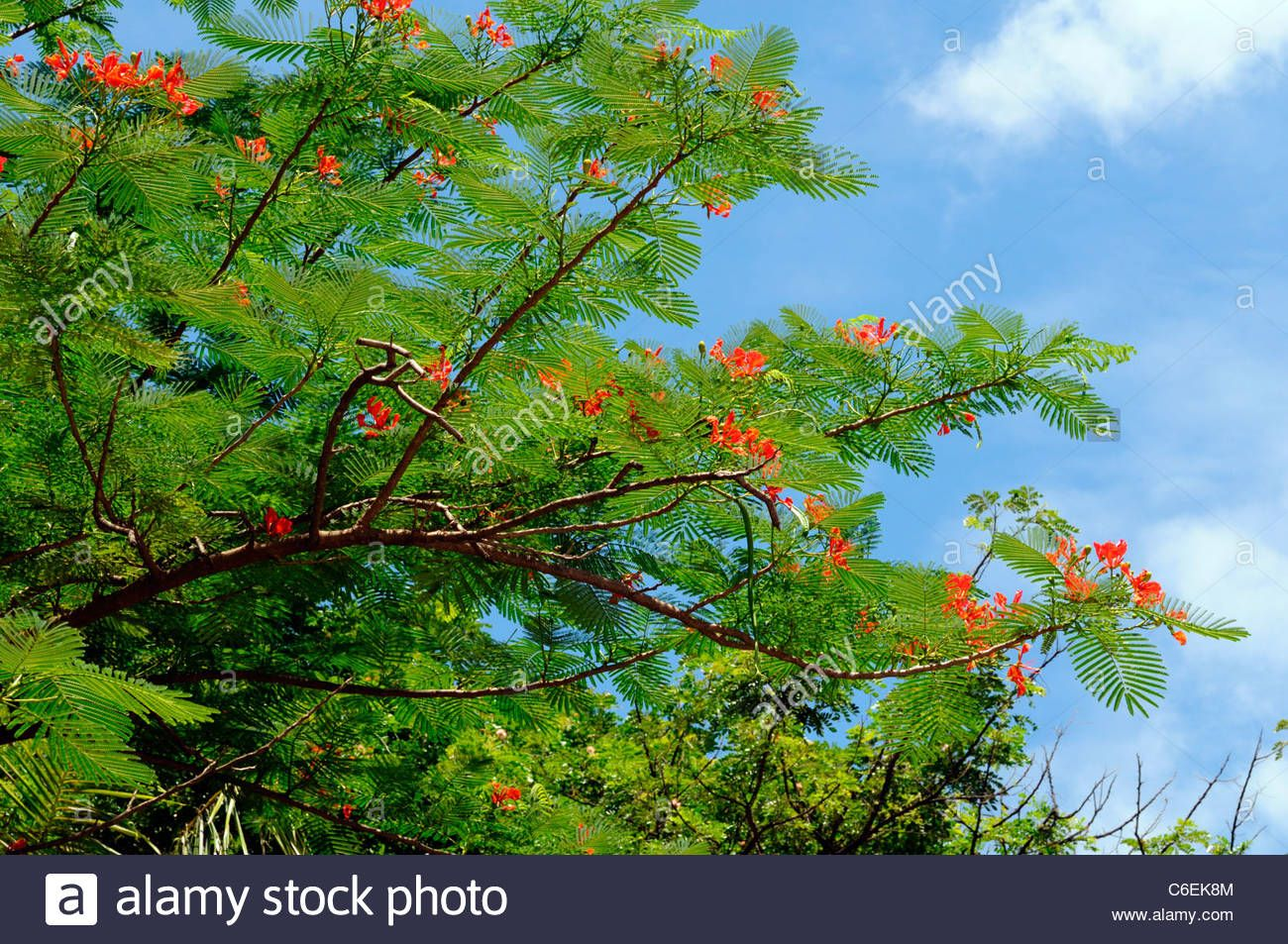 red hibiscus flower tree siem reap cambodia exotic asia asian flora ...