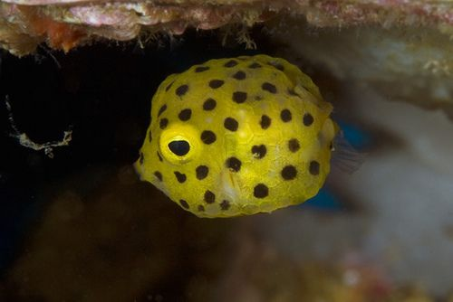 Yellow Boxfish Yellow Fish Life Under The Sea Sea Creatures