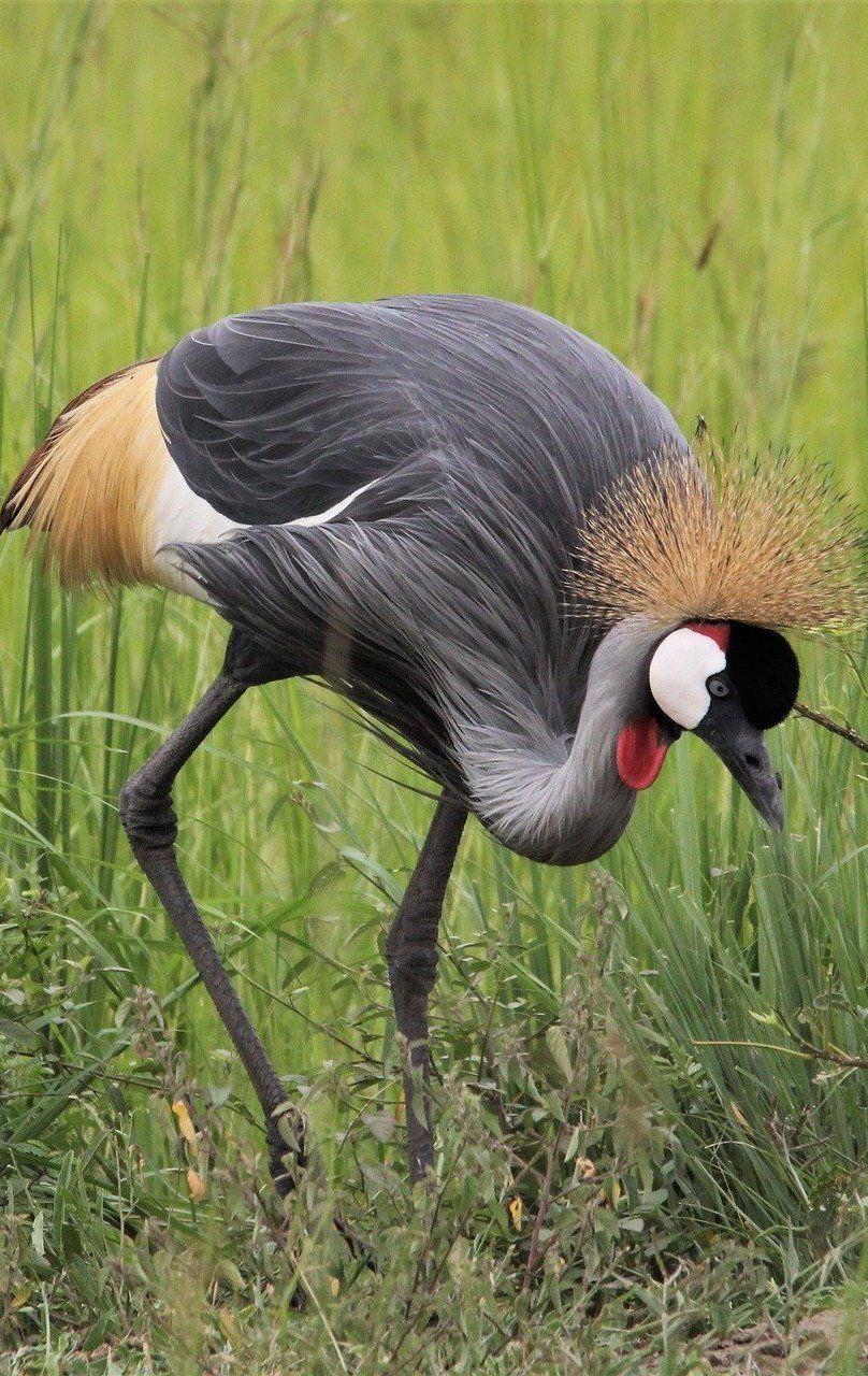 Beautiful grey crowned crane Beautiful grey crowned crane