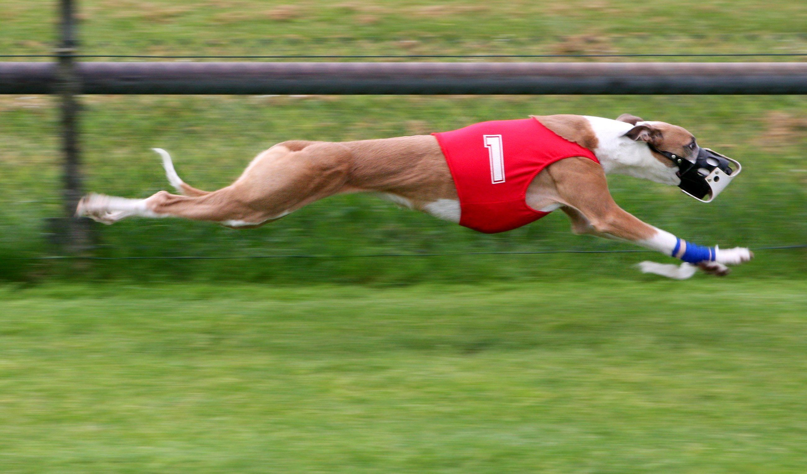 Dog Racing Banned In Florida Thousands Need Homes Dogs Racing