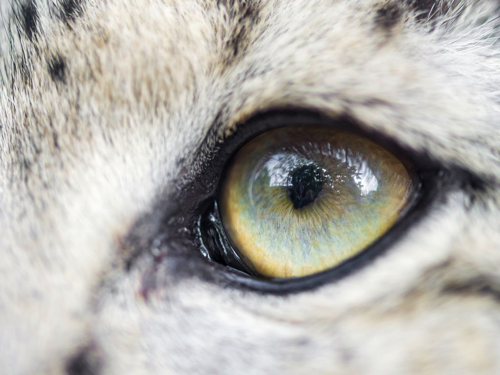 leopard eye close up - photo #12