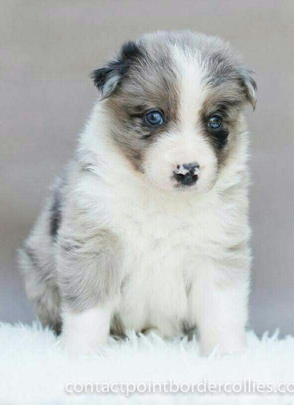 Blue Merle Tri Border Collie Puppy 4 Weeks Border Collie Puppies Collie Puppies Border Collie
