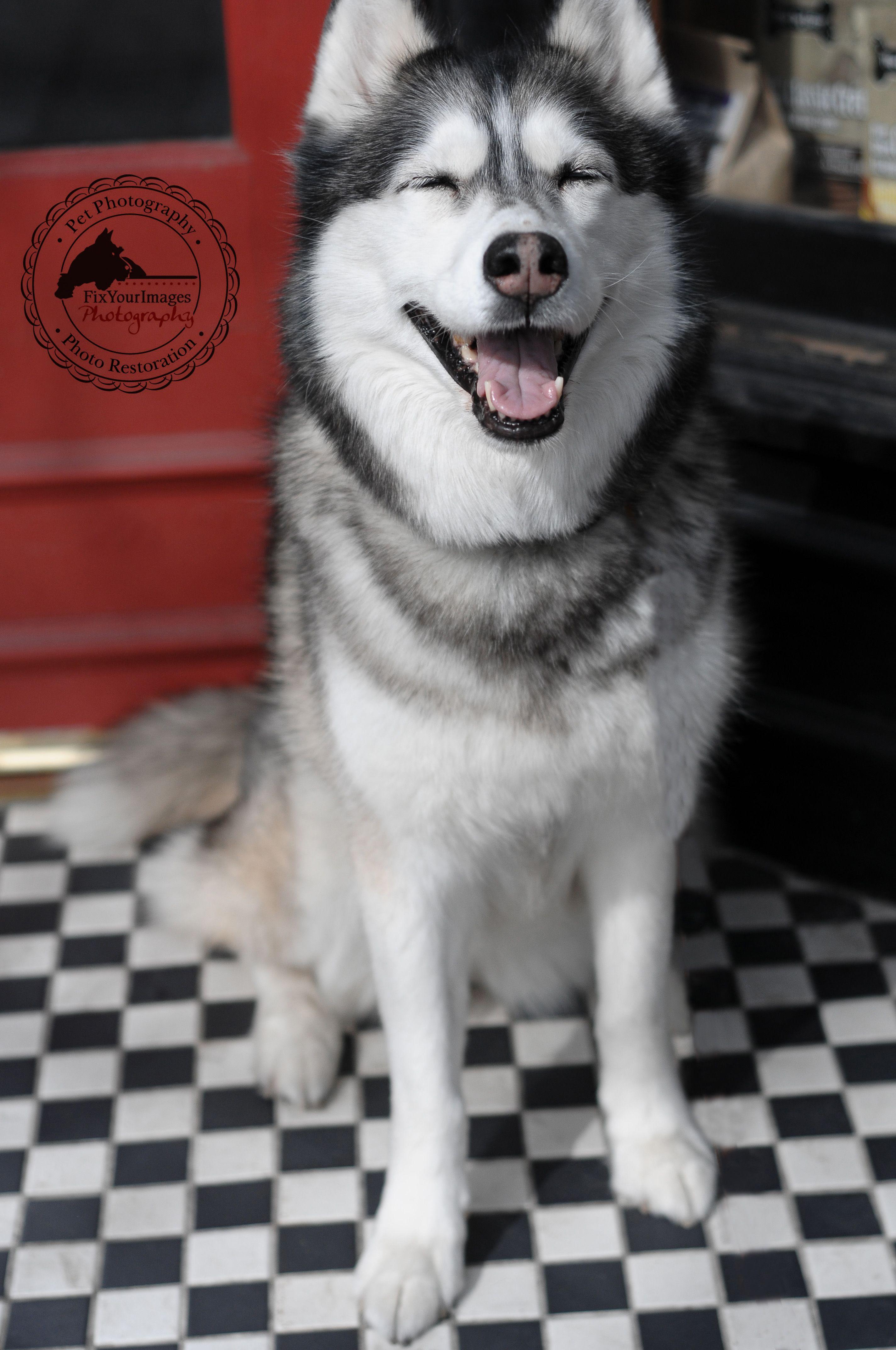 Smiling Happy Husky Via Myjoyofliving Com Pet Photographer