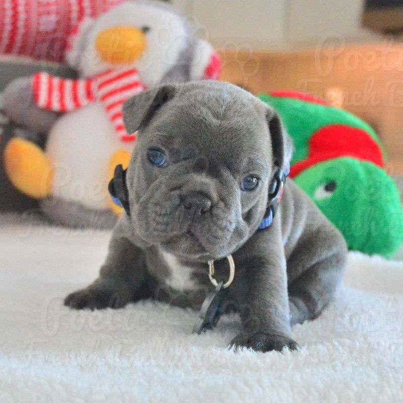French Bulldog Puppy For Sale In Fort Lauderdale Fl Adn 56748 On