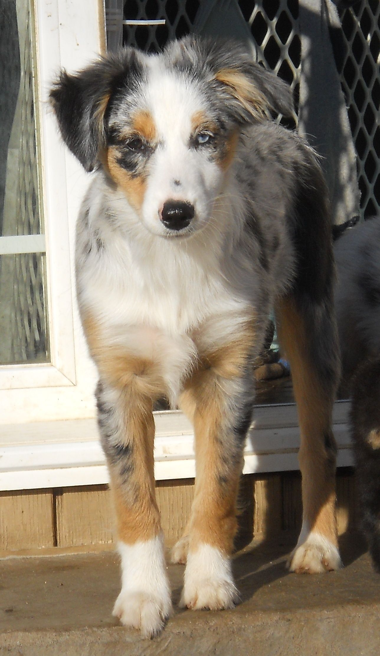 Sugar Booger Blue Merle Female Pup Out Of Sophia And Dustin With
