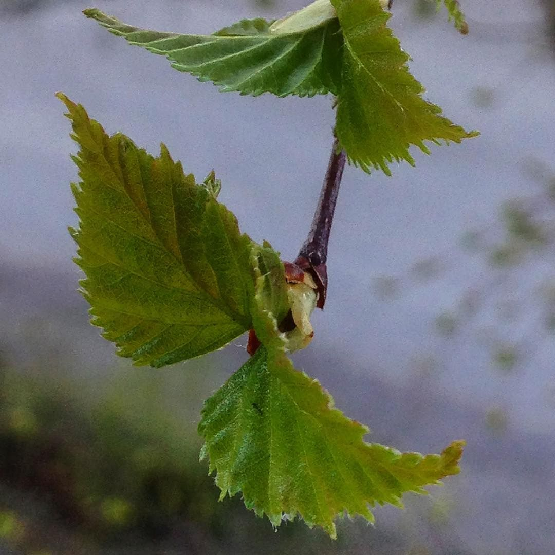 Kohti kesää #porvoo #finland #koivu #birch #kevät #spring #may #mtvsaa #ylesaa #forecasuomi #forecaweather #ig_nature #instaphoto #photography #world #earth http://tipsrazzi.com/ipost/1516406369874526992/?code=BULW48jgsMQ