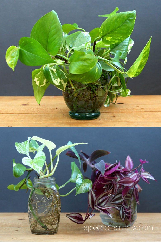 Grow Beautiful Indoor Plants In Water So easy   Water plants ...