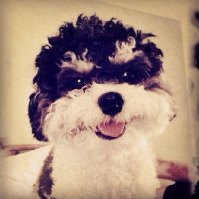 Monty The Shih Tzu Poodle Mix