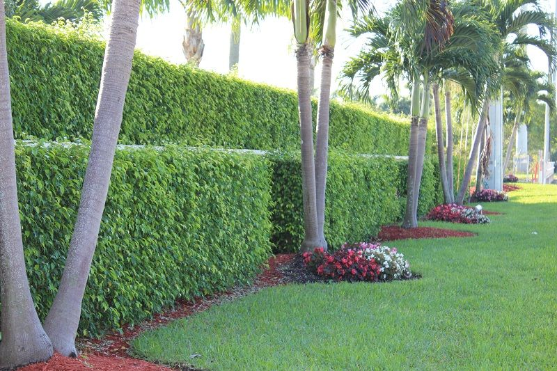 palm trees for hedges - Google Search